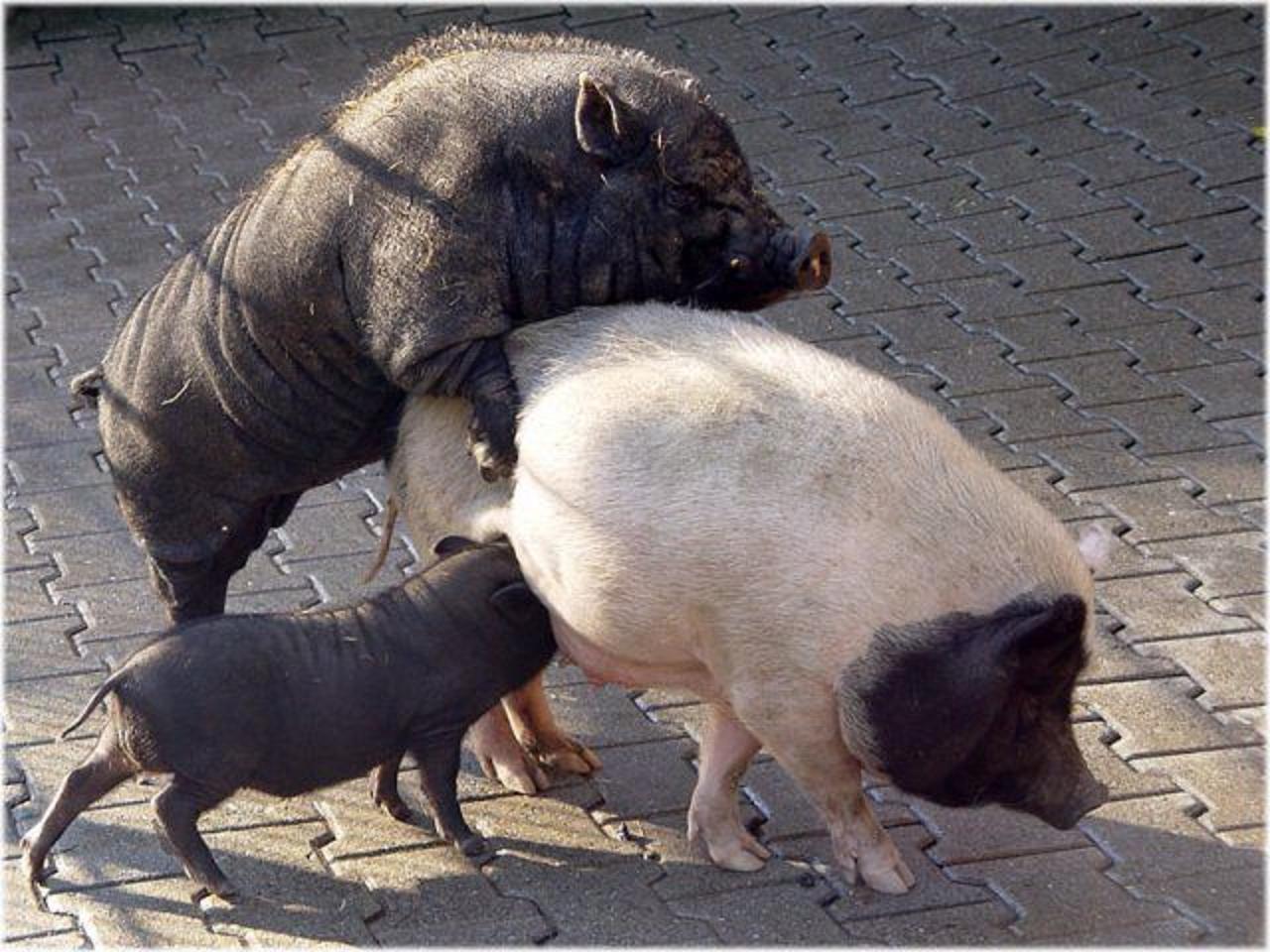 Сэкс со свиньей 18 фотография